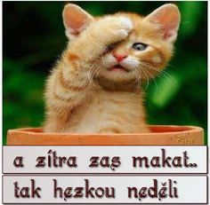 Not the weekend again ! I dont wanna work. Whiskers On Kittens, Cats And Kittens, Memes Download, Animals And Pets, Cute Animals, Animal Pictures, Cool Pictures, Orange Cats, Little Kittens