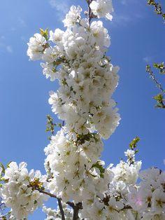 Flor del cerezo en el Valle del Jerte, Extremadura.
