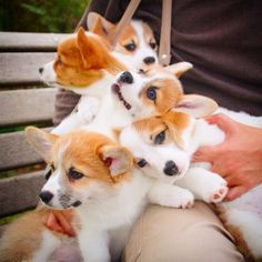Cutest pile of Corgis EVER!