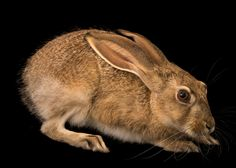 Picture of black tailed jackrabbit (2462777)
