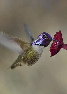Costa's Hummingbird by Gregory Scott