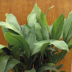Zimmerpflanze Schusterpalme