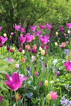 Everyday Lil' Secrets of Joy — silvaris:     Tulips at Hidecote by Ju_bee (Julia)