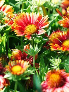 Blanket Flower A Tough Prairie Plant, Gaillardia Blooms