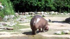 Huge hippo fart