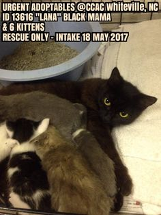 Pics For Fb, Black Mama, Kitten Rescue, Shelters, The Fosters, Kittens, Animals, Animais, Kitty Cats
