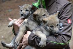 Erster Medizin-Check: Fünf Wolfswelpen im Güstrower Wildpark | svz.de