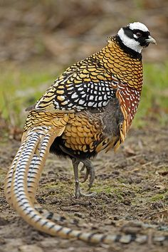 The Reeves's pheasant (Syrmaticus reevesii) is a large bird endemic to China. It has some of the longest tail feathers of any bird species. Due to ongoing habitat loss and overhunting for food and its tail plumes, the Reeves's Pheasant is evaluated as Vulnerable. There are thought to be only around 2,000 of these birds remaining in the wild. | by sparky Ian Clarke
