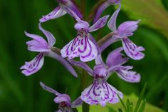 Dactylorhiza maculata - Flickr - Photo Sharing!