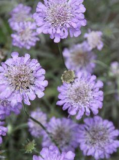 Garden Plants, House Plants, Scabiosa Columbaria, Toronto Gardens, Plants That Attract Butterflies, Prairie Planting, Flower Pictures, Cut Flowers, Pansies