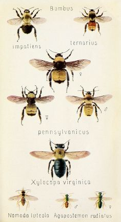 Bees. From a field book of insects  New York,G.P. Putnam's sons,1918.