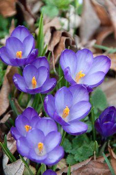Spring flowers. Croci.