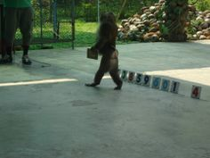 Tijdens de show doet de aap Sam allerlei trucjes, hier moet hij bijvoorbeeld het juiste getal kiezen