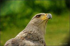 Aguila coronada sudamericana, en peligro de extinción.