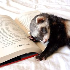 PetsLady's Pick: Cute Sleepy Ferret Of The Day ... see more at PetsLady.com ... The FUN site for Animal Lovers