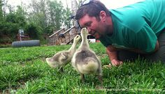 Domestic Geese - Which Goose Breed Should I Get? When Should You Get Geese? What Do Geese Need for Shelter & Food? Are Geese Aggressive?