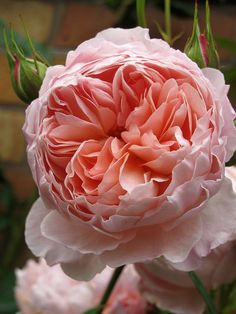 ~William Morris, a David Austin rose. The cupped, loose petalled, rosette-shaped flowers of 'William Morris' are a lovely glowing shade of apricot-pink, paling slightly on the outside of the petals. There is a strong fragrance with elements of tea and fruit.