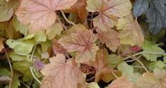 Heuchera and Heucherella (Coral Bells) - Meadows Farms