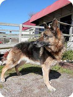 Tyler, TX - German Shepherd Dog Mix. Meet Zella, a dog for adoption. http://www.adoptapet.com/pet/12828597-tyler-texas-german-shepherd-dog-mix