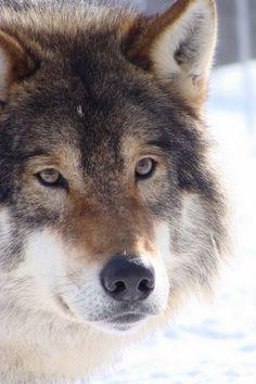 "cig-regrets: "" wonderous-world: "" The Alpha Wolf by Rebecca Somaya Bakkejord "" Nature/city/landscape blog, follow back similar """