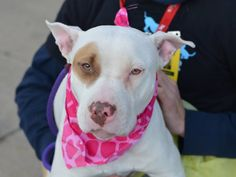 SAFE --- TO BE DESTROYED 12/14/14 Brooklyn Center **  My name is MADELINE. My Animal ID # is A1022460. I am a female white and brown pit bull mix. The shelter thinks I am about 8 MONTHS old.  I came in the shelter as a STRAY on 12/05/2014 from NY 11226, owner surrender reason stated was STRAY. Main Thread: https://www.facebook.com/photo.php?fbid=921348917877988