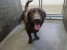 Per Petfinder 02/07/14:About 14-198 Animal is not adoptable if this is your pet please come down to 910 w 42nd street in Odessa TX to reclaim your lost animal. Please bring with you a current photo id and either cash or check. Still There! 14-198 Labrador Retriever & Basset Hound Mix • Adult • Male • Medium CITY OF ODESSA ANIMAL SHELTER, Odessa, Texas THERE ARE SO MANY ANIMALS HERE, AND MANY WON'T MAKE IT OUT!!!