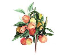 Apples art print of original watercolor by lunapeonyart on Etsy