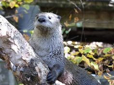 Otter Takes a Break from Climbing a Tree to Check Out the View 2