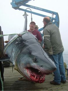 """mako The story: this is a 1,035lb mako caught """"sport fishing"""" off Nova Scotia, Canada. The shark was able to tow a 42-foot fishing boat backwards through the water at 7 knots for an hour or so, before..."""