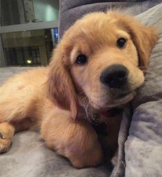 I think it's settled. I want a girl golden Retriever. #GoldenRetriever #labradorpuppy