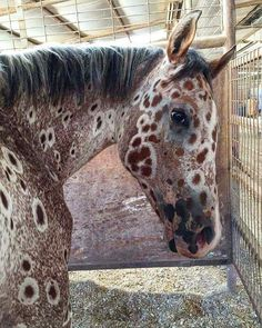 A sorrel Leopard Appaloosa, ancestor bred by Nez Perce Indian Mountain Ryder - Pferde - Cute Horses, Pretty Horses, Horse Love, Beautiful Horses, Animals Beautiful, Baby Horses, Leopard Appaloosa, Appaloosa Horses, Photo Animaliere