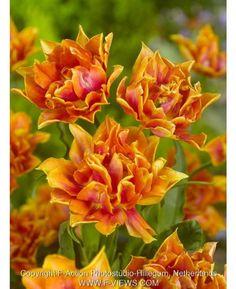 Tulip Willem van Oranje