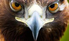 Golden Eagle on mull
