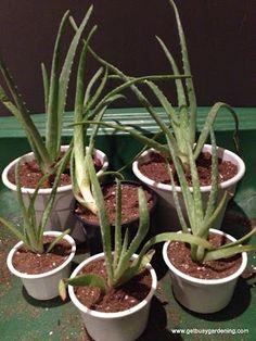 Propagating Aloe Plants... I want an aloe Vera plant so much!!