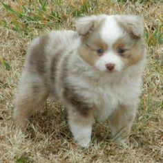 Justa Little Aussie, toy mini australian shepherd, miniature teacup aussie for sale TASAA breeders ASDR puppies for sale nationwide shipping quality blue red merle tri blue eyed Australian Shepherd Husky, Mini Australian Shepherds, Aussie Puppies, Cute Puppies, Cute Dogs, Dogs And Puppies, Toy Aussie, Australian Puppies, Mini Aussie