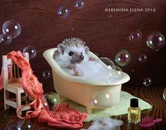 A Casual Day In The Life Of Two Adorable Hedgehogs - World's largest collection of cat memes and other animals Happy Hedgehog, Hedgehog Pet, Cute Hedgehog, Super Cute Animals, Cute Baby Animals, Animals And Pets, Wonder Pets, Guinea Pig Toys, Cat Toys