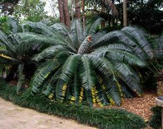 Image result for lepidozamia