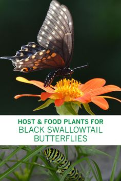 Attracting and Feeding Black Swallowtail Butterflies - Host and Food Plants for Your Butterfly Garden via @gardenexperimnt