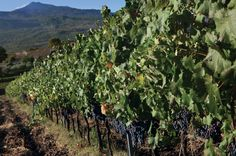 An influx of established Italian producers from beyond Sicily has sparked a leap forward in quality and global interest in Etna wines. Wine Education, Wine Reviews, Wine Art, Wine Quotes, Cheap Wine, Wine Online, My Glass, Wine And Spirits, Decanter