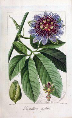 Passiflora pedata - circa 1827