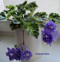 Vintage african violet Kingwood Blue. (5448) 08/20/1983 Eyerdom