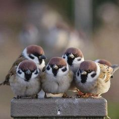 Sparrows are weaver finch birds. There are several species of sparrow, some of which are associated with living nearby settlements of people, such as cities, suburbs, and farms. Cute Birds, Pretty Birds, Small Birds, Colorful Birds, Little Birds, Beautiful Birds, Animals Beautiful, Exotic Birds, Cute Baby Animals