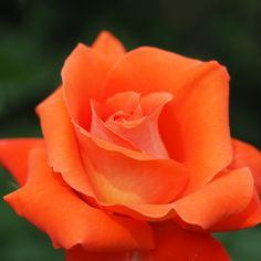 Rose, Laura, バラ, ローラ, Hybrid Tea rose ハイブリッドティーローズ France フランス Meilland 1981