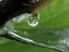 A raindrop is about to drop from the apple twig.