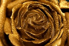 Golden Rose photo 8x12 Fine Art by AnaPontesPhotography on Etsy, $21.00