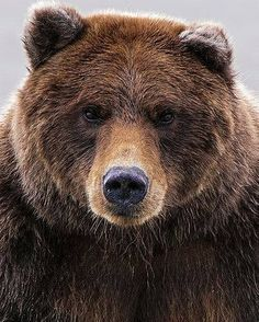 Brown Bear - Brunbjörn - Briune Beer - Ours brun - Braunbär Beautiful Creatures, Animals Beautiful, Animals And Pets, Cute Animals, Baby Animals, Wild Animals, Baby Pandas, Pretty Animals, Nature Animals