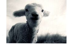 Lamb Black and White Photography Wildlife Photography, Animal Photography, Baby Sheep, Sheep Art, Little Critter, First Photo, Nursery Art, Black And White Photography, Farm Animals