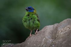 Little green bird by fredwormsbecher #animals #animal #pet #pets #animales #animallovers #photooftheday #amazing #picoftheday