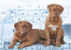 Crafting the American standard for the Dogue de Bordeaux took time, patience ... and lots of overseas input. Modern Molosser  |  www.modernmolosser.com
