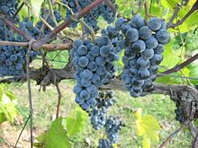 Where to grow grapes growing grapes pennsylvania,how to grow a seedless grape hummingbird vines how to grow,growing concord grapes indoors grape plant clipart. Grape Plant, Growing Grapes, Aquaponics System, Wine Making, Wine Drinks, Beverage, Wine Country, Grape Vines, Wines